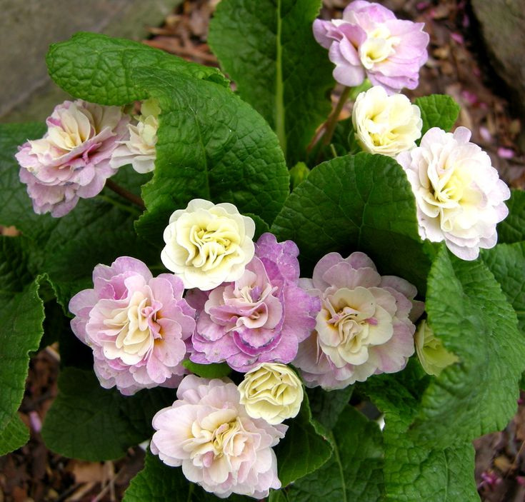 90 Best Primrose Images On Pinterest Beautiful Flowers