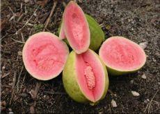 Guava fruit Sri Lanka
