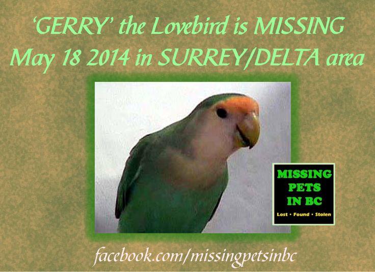 'GERRY' MISSING LOVEBIRD in SURREYDELTA (Scott Rd & 80th-84th)