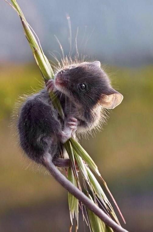 Country mouse; so cute! Millions of small mammals die daily, worldwide, during harvest time. Modern machinery is both efficient and ruthless when it comes to harvesting all that wheat and corn; killing machines. Carnivore, vegetarian or vegan; everyone contributes to their demise.