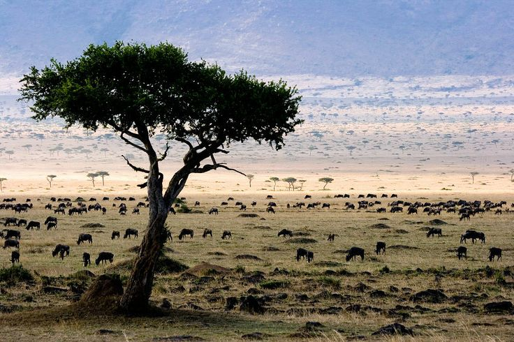 The plains of the Masai Mara on the slopes of the western escarpment of the Freat Rift Valley of Africa.  Balanites tree.