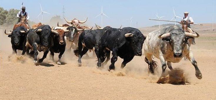 #toros rejoneados en el campo #bull #horses #caballos