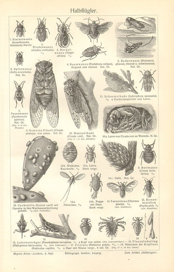1904 Insects Forest Bug Backswimmer Bishop's by CabinetOfTreasures