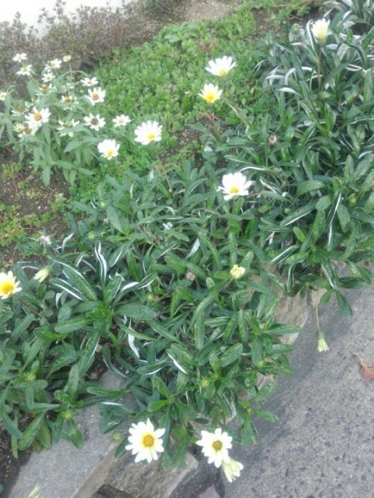 Nursery that my son Kai, has been through. Lot, the white gerbera flower beds there are in bloom. So, it is cute.