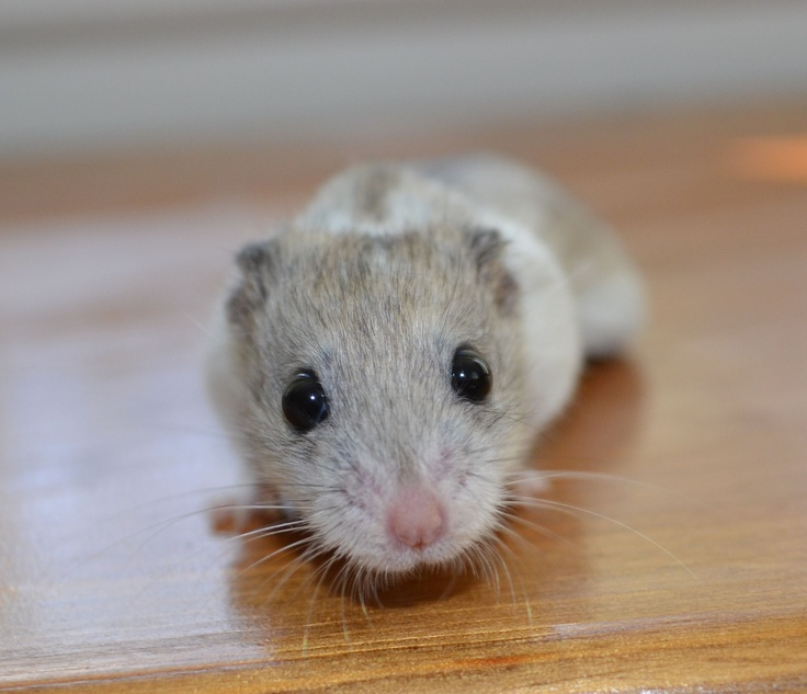 Chinese Dwarf Hamster I have one!!!!