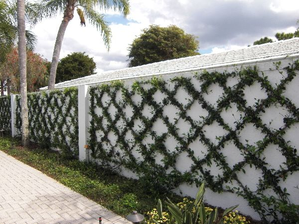 Trellised Confederated Jasmine For Entry Wall Jon And