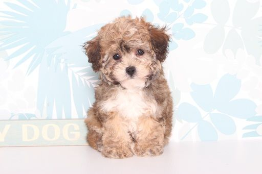 Poodle (Toy)-Yorkshire Terrier Mix puppy for sale in NAPLES, FL. ADN-67183 on PuppyFinder.com Gender: Male. Age: 9 Weeks Old