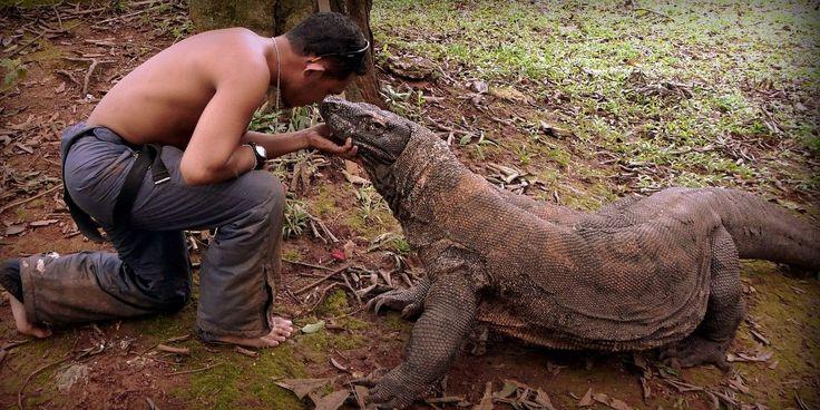 Komodo dragon size - photo#20