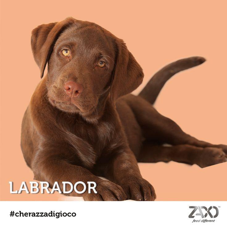 Si nascondeva un cucciolo di Labrador dietro al nostro #cherazzadigioco  Non era difficile da indovinare, se non che l'esemplare cioccolato è molto meno comune di quelli miele e nero. :) Sappiate che il Labrador è un cane dolce, affettuoso e giocherellone. Ama i bambini, ama gli anziani, ama tutta la sua famiglia e a volte anche gli sconosciuti! Ha una spiccata intelligenza e adora lunghe camminate... e nuotate!!!