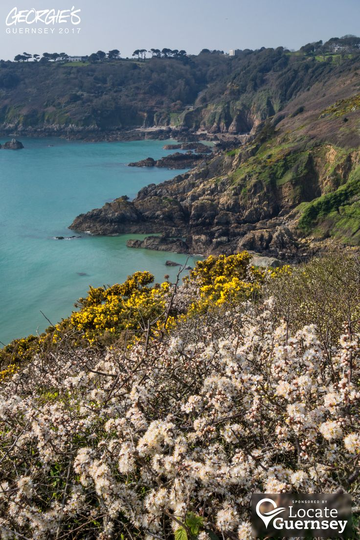 Blackthorn blossom, gorse & azure seas, just another beautiful spring lunchtime in Guernsey! #LocateGuernsey  Link to the whole collection of 'Georgie's Guernsey':-http://chrisgeorge.dphoto.com/#/album/4daaes  Picture Ref: 28_03_17