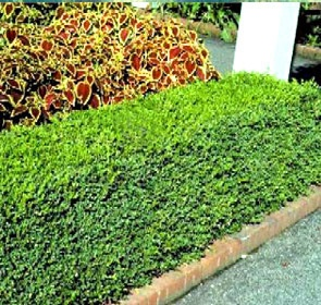 Korean Boxwood Lot Of 10 Fast Growing Evergreen Shrub Hedge Gallon Pots Korean Boxwood