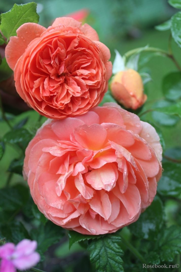 964 best flowers images on pinterest beautiful flowers beautiful such a beautiful unusual color with a strong scent mightylinksfo