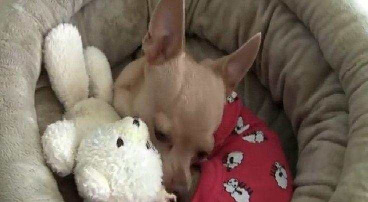 El chihuahua que ama a su oso de peluche  ¿Te gustan los Chihuahua? ¡Este pequeño es tan tierno!  Él adora a su oso, es asombroso como también los animales tienen sus objetos preferidos y no los dejan por ningún motivo.   Responde al nombre de Tommy y ha sido uno de los animales mostrados en la red más queridos por su ternura, ¡conócelo!