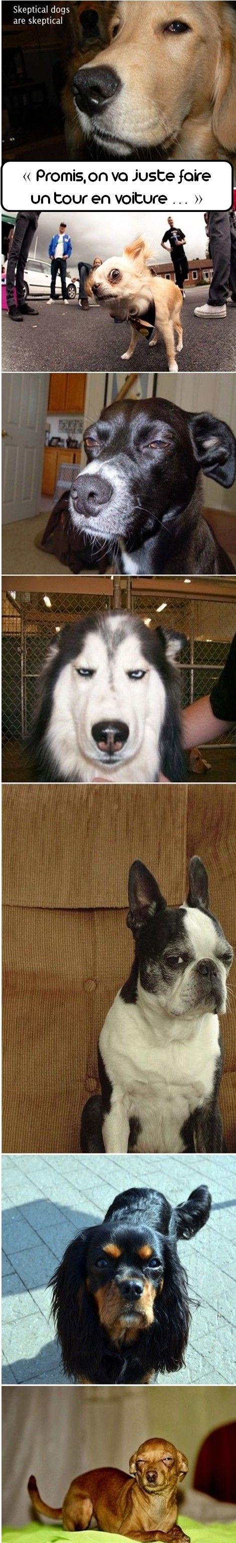 #dogs #sceptical #humour #chiens #sceptiques #zoomalia #aniamalerie