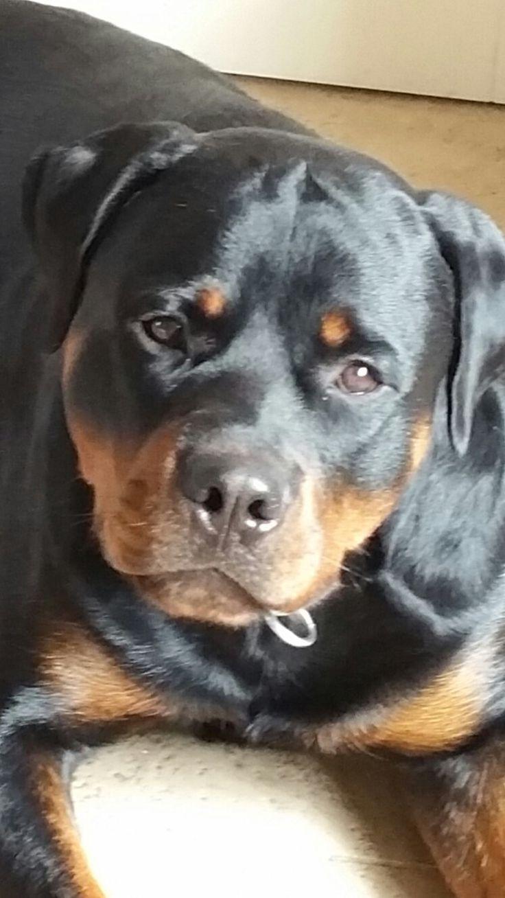 Alles over uw Rottweiler Http://www.love-rottweilers.nl
