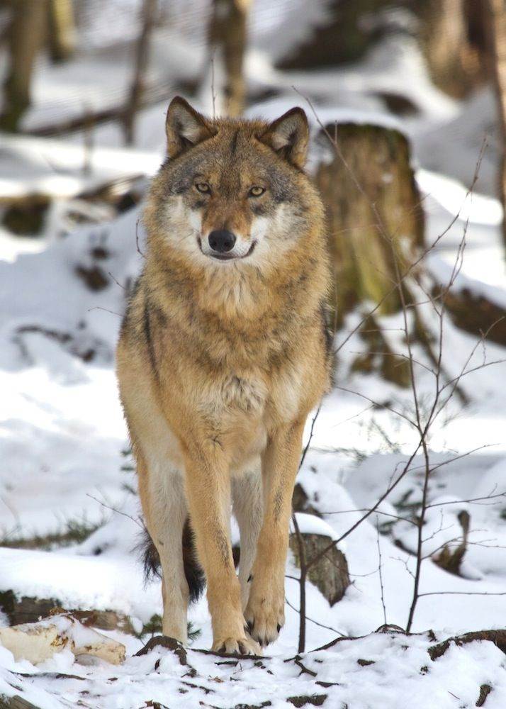 Eurasian wolf in Bavarian National Forest Park, Germany