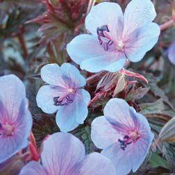 Geranium pratense 'Midnight Blue' (Hardy) - Cottage Garden Plants - Van Meuwen