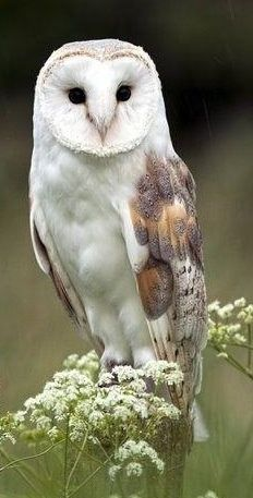 Barn owl, Grouse Mountain, Vancouver, Canada.  It was so cold there were still patches of snow around.