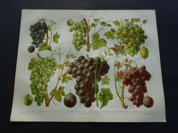 Antique botanical print 1909 original 100 by DecorativePrints