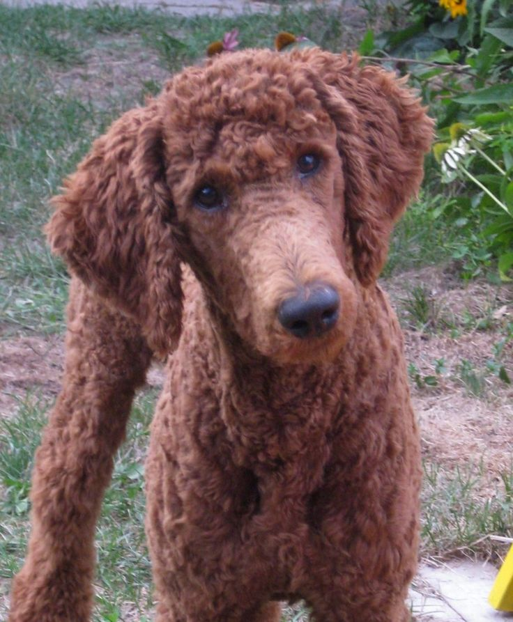 52 best Manly Standard Poodle Cuts images on Pinterest ...
