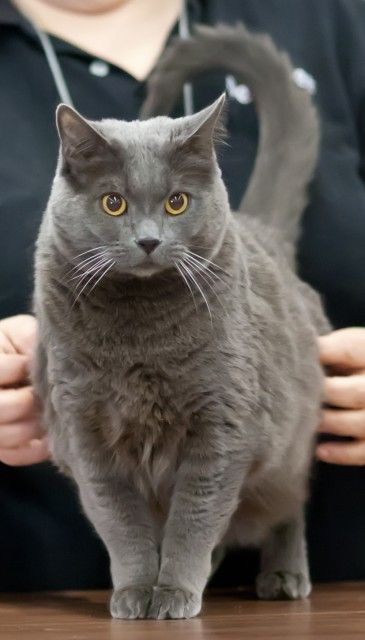 ~ Chartreux Cat ~alot like my Petit Four