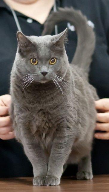 ~ Chartreux Cat ~alot like my Petit Four