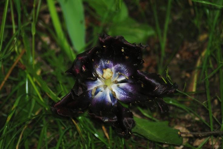 """Tulipano nero, detto anche """"Black Queen"""". Il tulipano in realtà proviene dalla Turchia e fu portato in Europa solo durante l'epoca moderna. Il suo bulbo venne rubato da Vienna e venne portato in Inghilterra. Poco tempo dopo venne nuovamente rubato per essere portato in Olanda."""