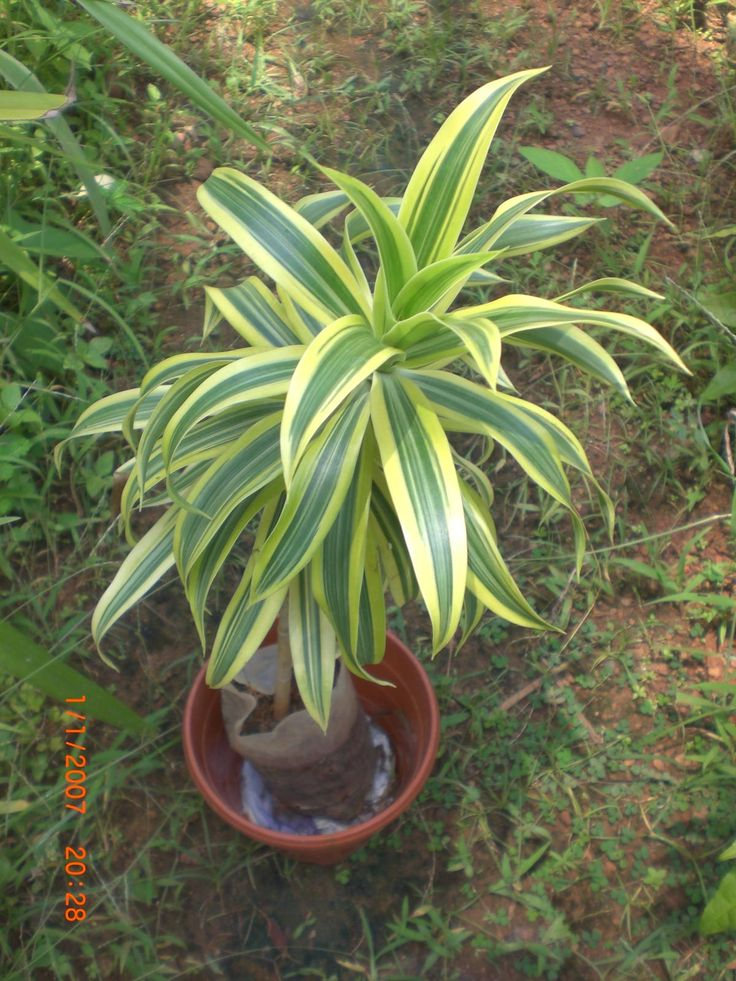 2850 best images about house plant on pinterest for Plante dracaena