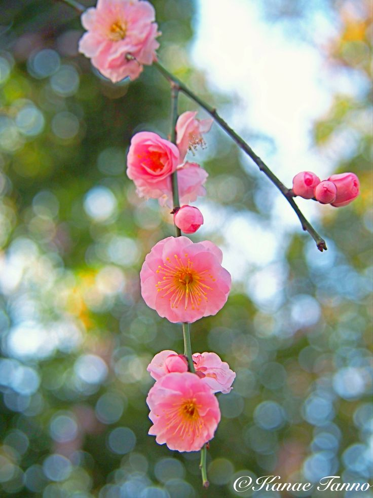 plum flower is so cute.