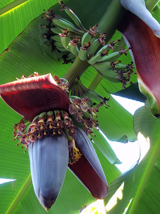 A Banana Plant Is an Herb (Or, Little Known Banana Facts)