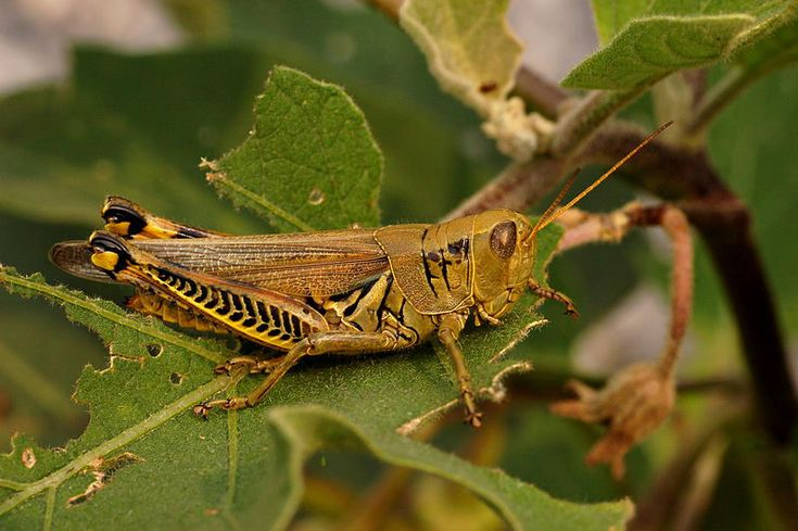 <b>Grasshopper</b> Facts For Kids | <b>Grasshopper</b> Diet & Habitat