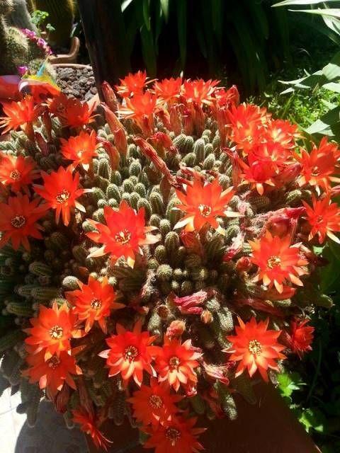 Piante Grasse Con Fiori Arancioni ~ duylinh for