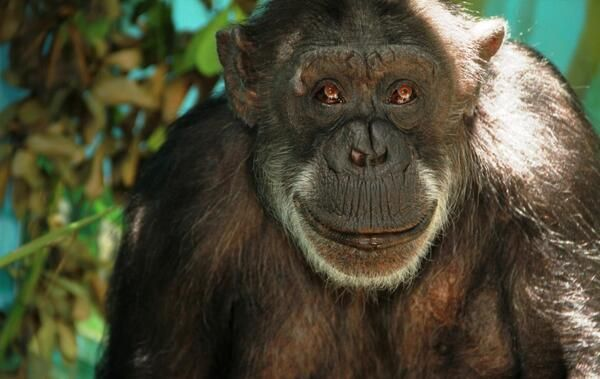 Janie once was one of the tea party chimps at Auckland Zoo