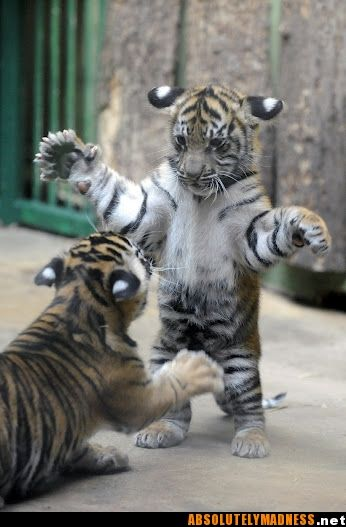 Playful cubs