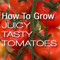 Learn how pruning tomato plants can maximize the number, size, and flavor of your tomatoes. How to pinch suckers. When to prune side stems and roots of tomato plants.