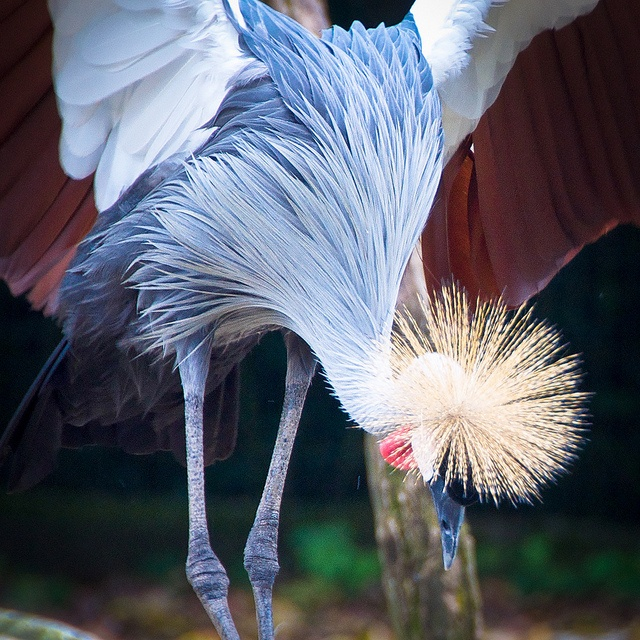 Singapore Zoo - African Crowned Crane | Flickr - Photo Sharing!