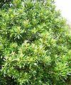 Brachylaena Neriifolia                      White Water Alder          Witwaterels          6 m        S A no 729