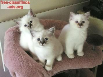 free-classifieds-ads.org - lovely and adorable seal and lilac point birman kittens for sale