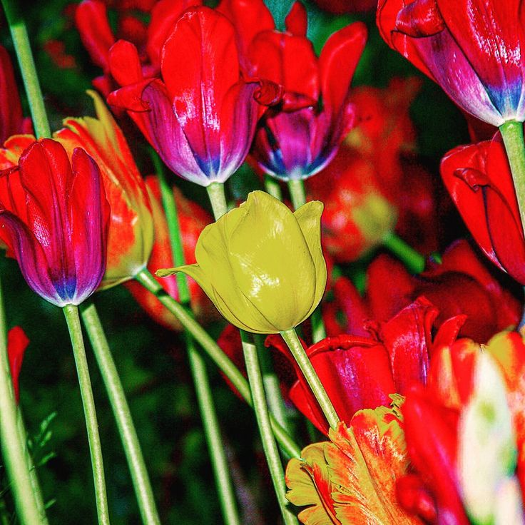 https://flic.kr/p/Fdua3e | The garden of a romantic #sunset can only be found within a simple #rainbow. #flowers #colorful #twilight #evening #summer #macro #nature #upclose #camera #lens #tulips #red #yellow #petals  | OLYMPUS DIGITAL CAMERA