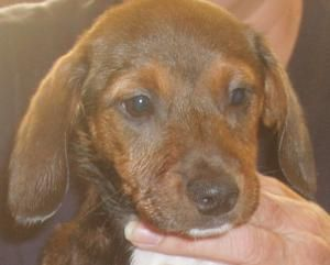 Jessie is an adoptable Dachshund Dog in Cherokee Village, AR. Please email spanimalrescue@aol.com for an adoption application or call Helga at 870-847-0727 if you would like to add this little girl to...