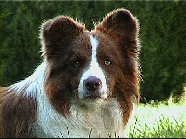 aussies   Goofy (Australian Shepherd Mischling) - Zuhause gefunden - Verlassene ...
