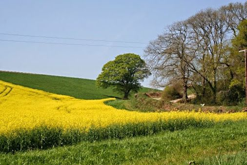 A COUNTRYSIDE SCENE IN ENGLAND The flowering oilseed rape splashes a swathe of industrial yellow across the green Spring countryside.  Credit: © Copyright Tony Atkin and licensed for reuse under Creative Commons Licence