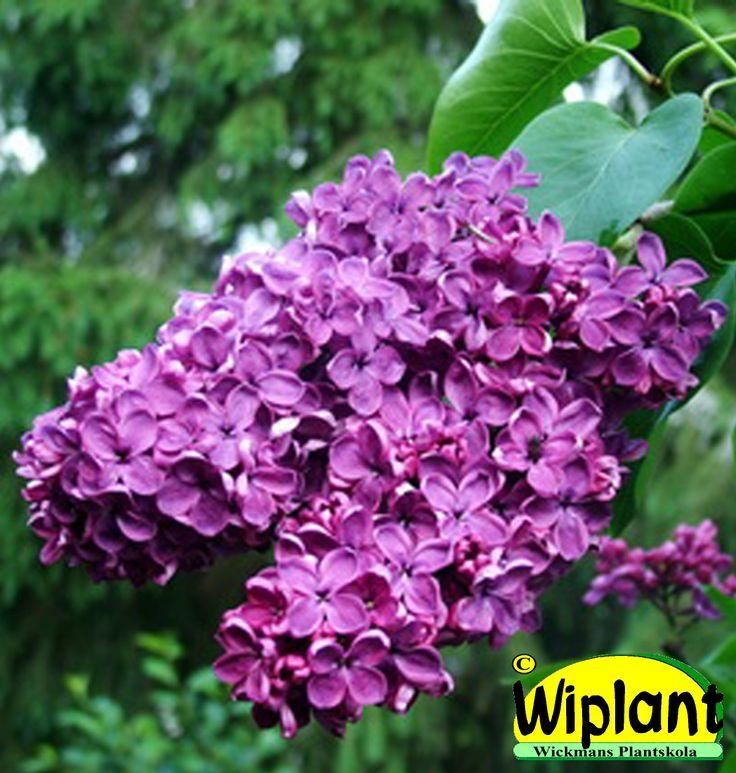 Syringa x. 'Ludwig Späth', ädelsyren. Tjocka, mörkt rödvioletta blommor. Höjd: 1,5-2 m.