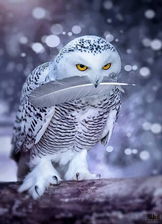 Owl Snowy with feather in beak