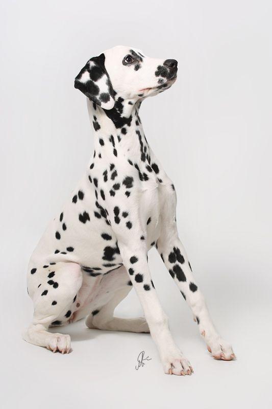 Dalmatian! Connect the Spots!!