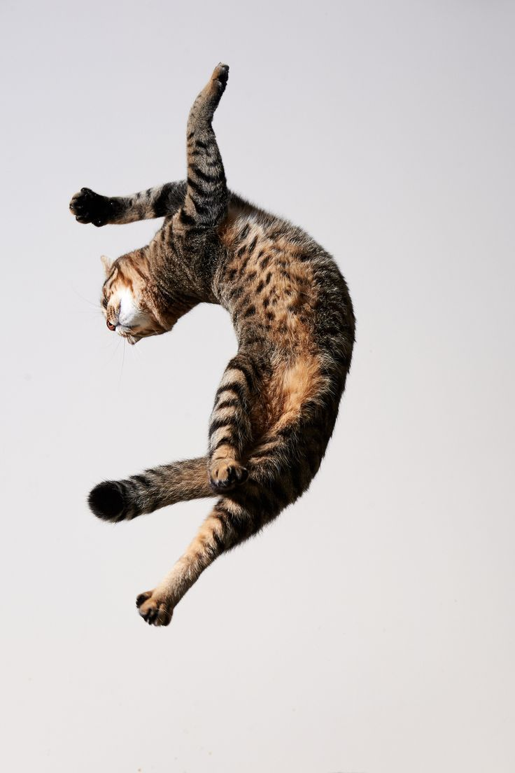 Cat fly. ...Just flying through the air. What a photo shot.