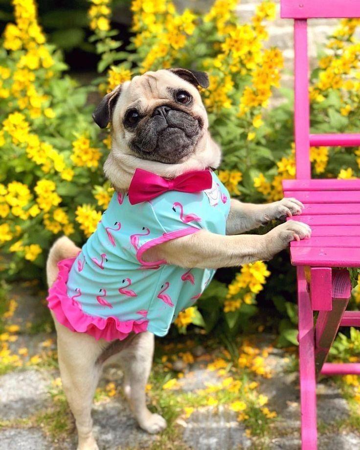 Pin By Katie Nicole On Pug Life Cute Pugs Pugs Funny Pugs