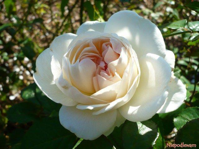 1000 images about roses on pinterest. Black Bedroom Furniture Sets. Home Design Ideas