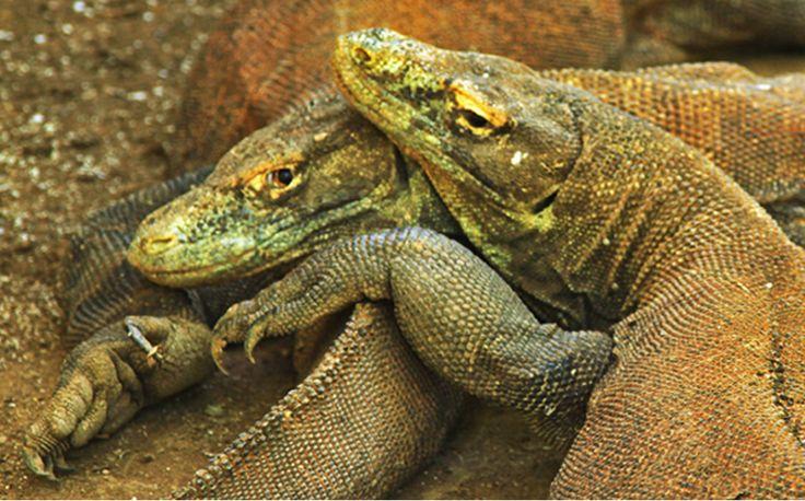 Sim, os dragões de Komodo atacam e matam tudo o que se move à sua frente, inclusive seres humanos