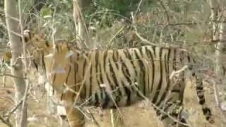 India Wildlife Tour - Tiger Safari  India wildlife tour & tiger safari. See a close look of bengal tiger in ranthambore national park.